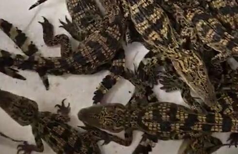 在冬天养殖的鳄鱼苗怎么过冬?