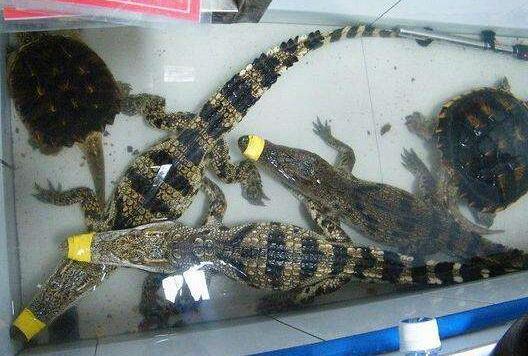 山东鳄鱼养殖场是骗局吗?