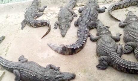 人工养殖鳄鱼一年可以长多少斤?