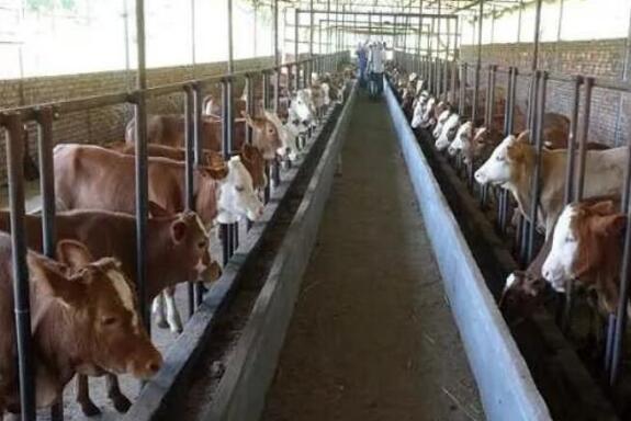 投资养50头牛需要多少资金?