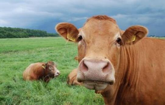 养牛需要什么技术?