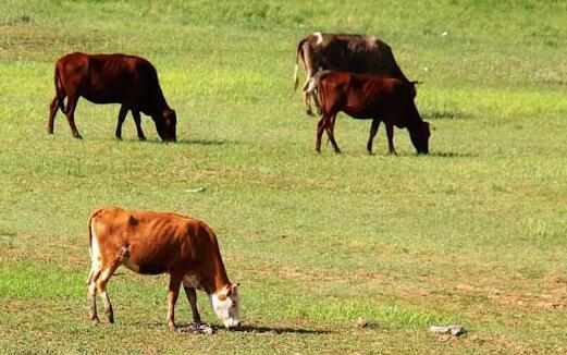 春冬犊牛散养日常管理方法有哪些?