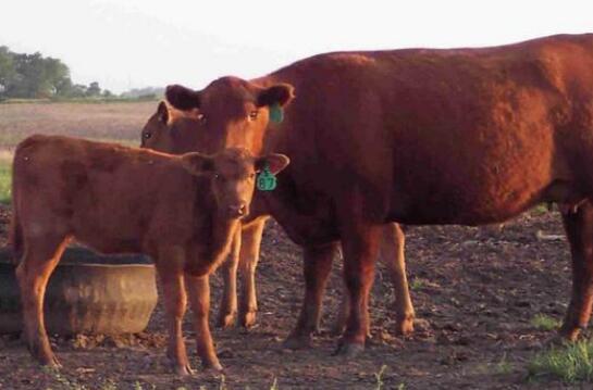 鲁西黄牛的生长周期一般是多长时间?