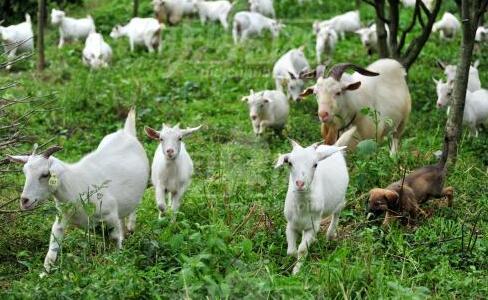 放养山羊100只一年利润一般都有多少?
