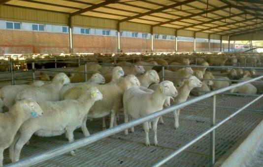现在新式小尾寒羊养殖技术有哪些?