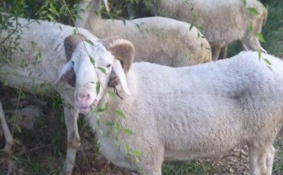 现在养殖小尾寒羊成本与利润分别多少?
