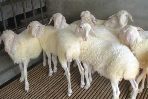 养殖50只小尾寒羊利润一般有多少?