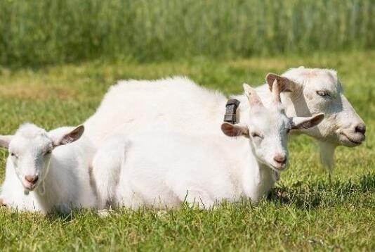 在冬季羊要怎么养要注意什么?