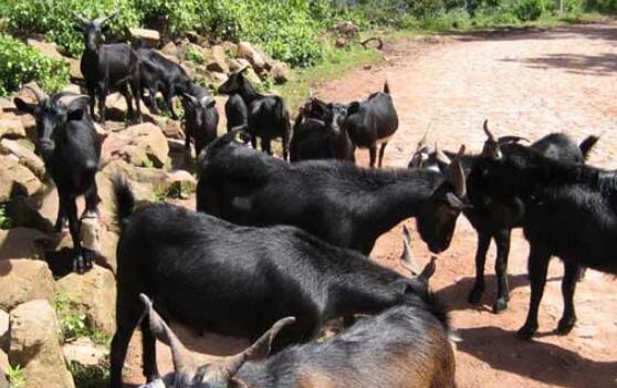 今年黑山羊的养殖前景怎么样?