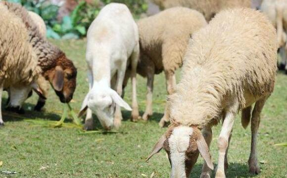 现在养100只羊的利润与成本分别有多少?