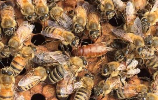蜂王死了蜂群要怎么办才好?