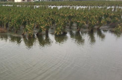 稻田不平整对小龙虾养殖有