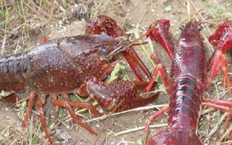 2019年水泥池养殖小龙虾的可