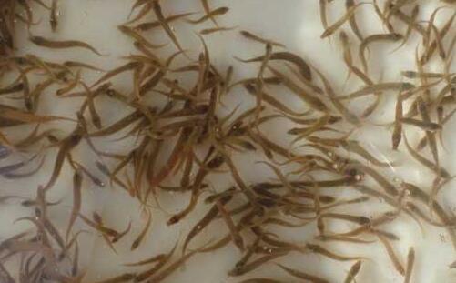 人工培养泥鳅苗一般要注意什么?