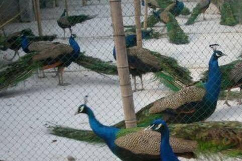 孔雀产蛋期要怎么饲养?