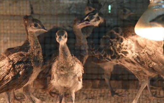 在农村养殖蓝孔雀一年可以赚多少钱?