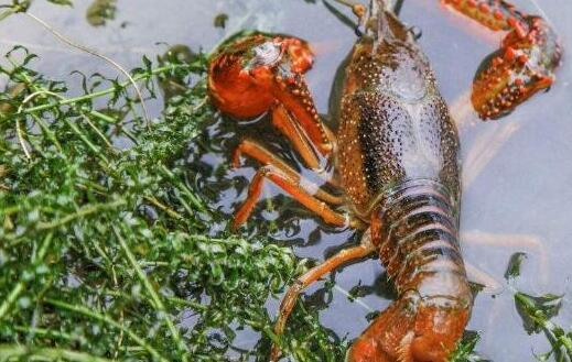 养小龙虾一亩多少利润一亩1万元你相信吗?