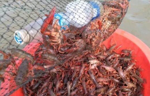 2019-2020年养殖小龙虾还会有市场吗?