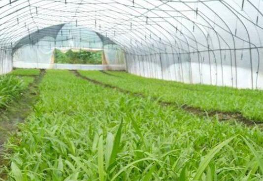 白芨种子种植技术有哪些怎么发芽?