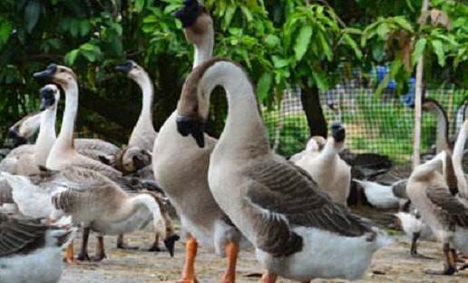 养殖鹅一只鹅的利润究竟是多少要怎么算合适?