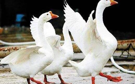 养500只鹅一般需多少投资才可以?