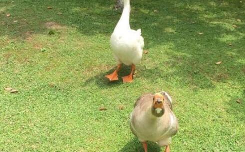鹅是最tm嚣张的家禽是什么意思?