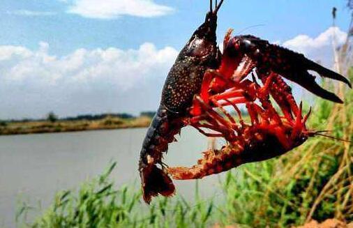 豆粕喂小龙虾效果怎样?