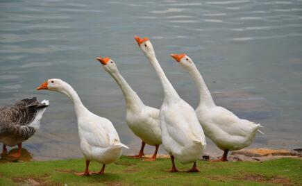 2020年养鹅的利润与成本分别有多少?