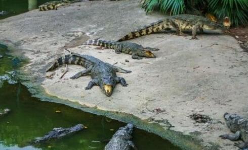 鳄鱼养几年能繁殖?