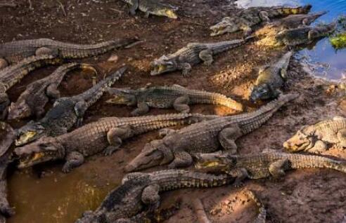 鳄鱼多少温度会冻死?
