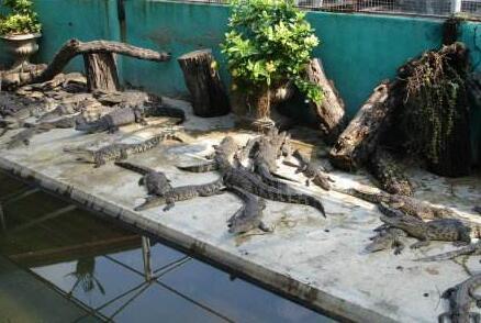 鳄鱼养殖冬天怎么处理?