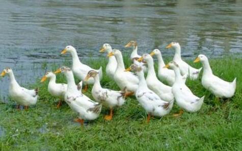 现在养鸭1000只利润和成本分别有多少?