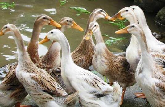 养鸭一只究竟能赚多少钱?