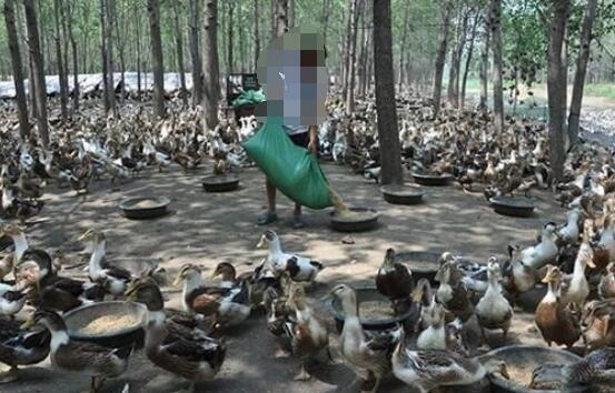 如何在旱地养鸭?