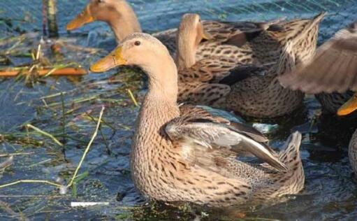 养鸭子需要多少投资利润有多少?