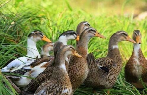 2020年养鸭前景怎么样还有利润吗?