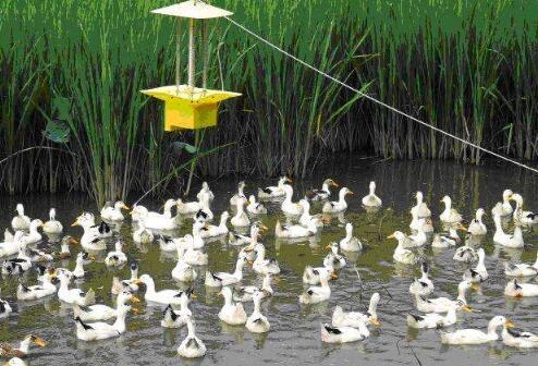 现在农村养鸭子赚钱吗?