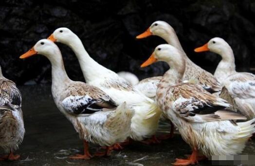 2020年养鸭行情怎么样是否还有利润?