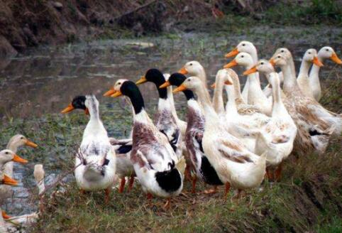 养鸭技术与鸭病的防治有哪些?