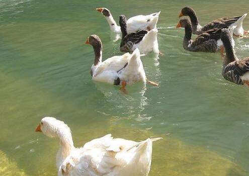 农村常见鸭的种类都有哪些?
