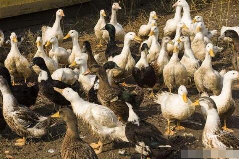 新手养鸭要注意什么?