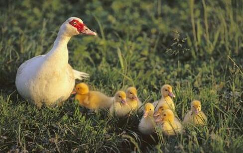 新大棚肉鸭养殖技术有哪些?