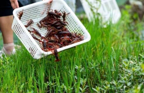 3月初刚上市的小龙虾价格