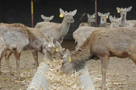 现在要如何养鹿?