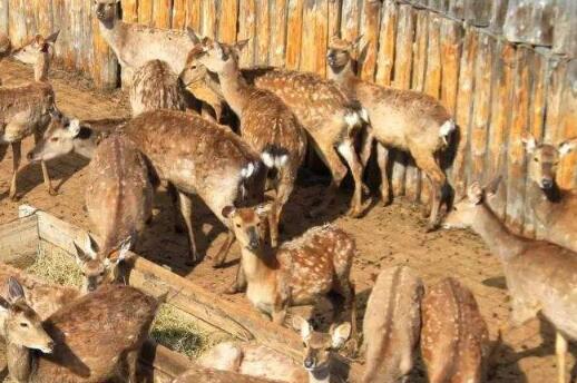 现在养鹿的利润与成本有多少?