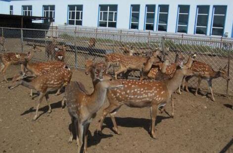 2020年养殖梅花鹿赚钱吗?