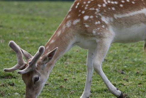 常见人工养殖鹿的种类主要有哪些?