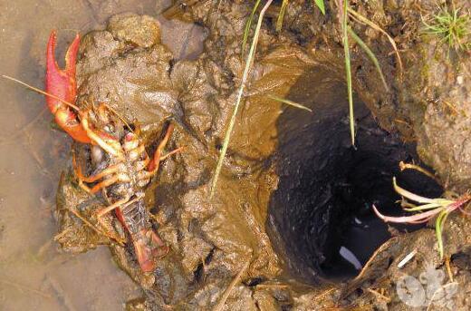 去年放的小龙虾种虾没有抱卵可卖掉吗?