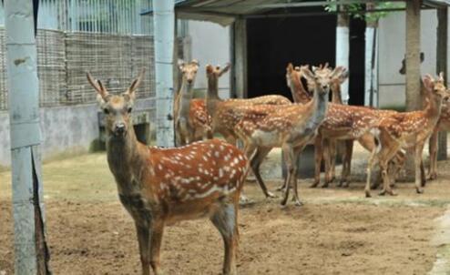 母鹿要怎么饲养?
