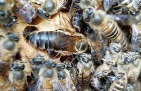 养殖的蜜蜂要如何培养蜂王?